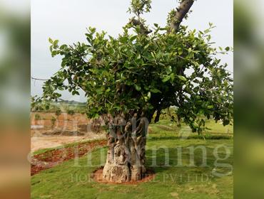Tree Translocation, Transplantation, Relocation